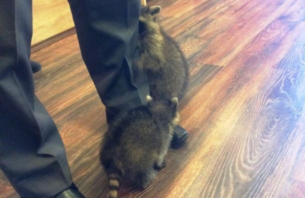 ВПетербурге изконтактного зоопарка изъяли 7 енотов