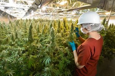 Неваде не хватает марихуаны