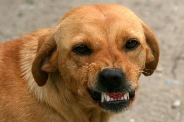 Собака вцепилась в щеку 3-летнего мальчика в Сестрорецке