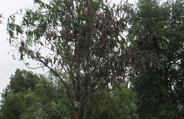 Коммунальщики «озеленили» сухие деревья при помощи скотча