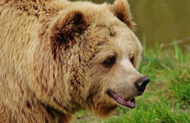 Медведи под Хабаровском съели высыпавшуюся из грузовика рыбу