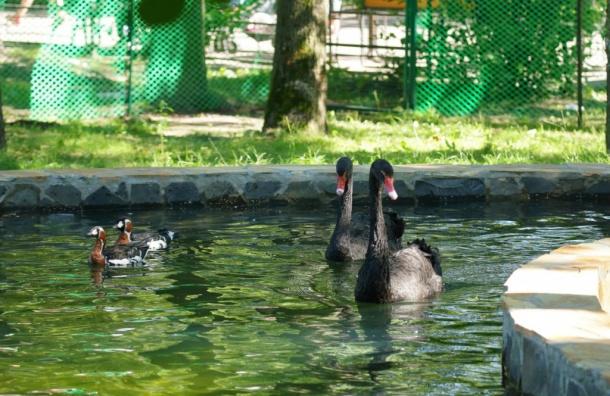 Черные лебеди Ленинградского зоопарка получили свой пруд