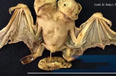 Двухголовую летучую мышь засняли в Бразилии