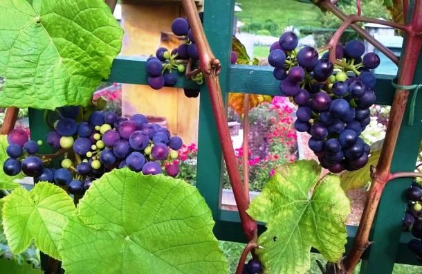 Черный виноград поспевает в Стрельне