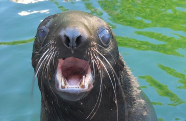 Морской котик задержал в петербургском дельфинарии хулигана