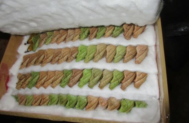 Куколки бабочек из Филиппин прошли досмотр в «Пулково»