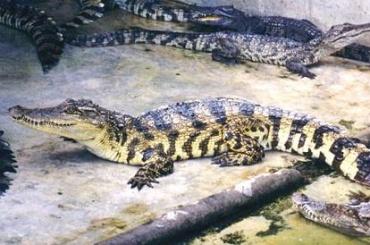 Побег из зоопарка Китая совершили 78 крокодилов