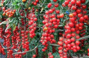 Россия разрешит поставки помидоров из Турции не раньше зимы