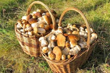 Почти четыре сотни грибников спасли в Ленобласти
