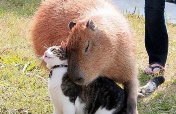 ВЛенинградском зоопарке возникла капибара