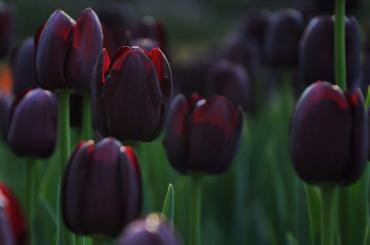 Черные тюльпаны высадят в парке на Елагином острове