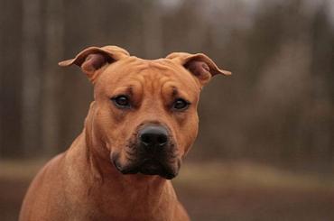 Бойцовская собака покусала петербурженку и её чихуахуа