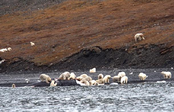 Сотни белых медведей на Чукотке набросились на тушу кита