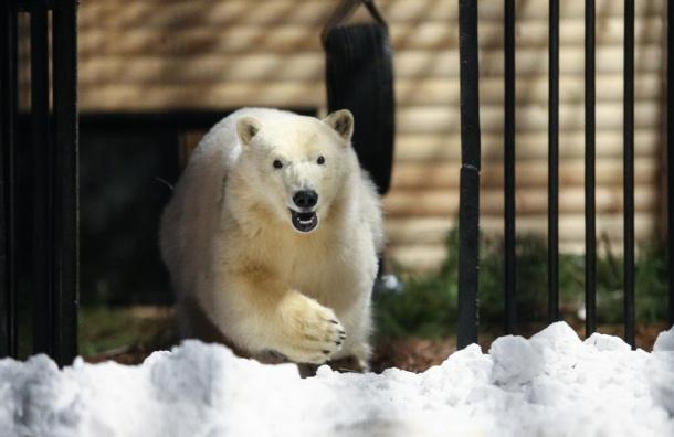 Снежинка-Хаарчааны переехала вЛенинградский зоопарк