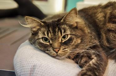 Эрмитажных котов раздают вПетербурге