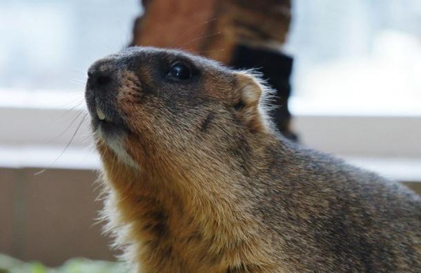 ВДень сурка грызуны изЛенинградского зоопарка останутся вспячке