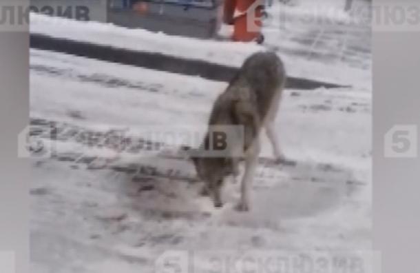 ВПетербурге наСофийской улице увидели волка