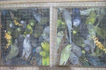 Более 300 попугаев прошли досмотр ваэропорту Пулково