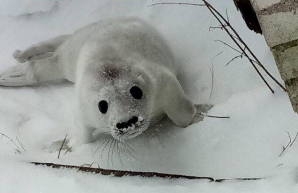 Белька петербургские зоозащитники хотят вывезти навертолете
