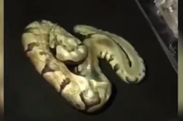 Труп змеи нашли всалоне авто упетербуржца