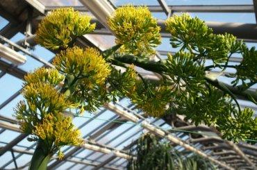 Впервые за40 лет вБотаническом саду расцвела агава