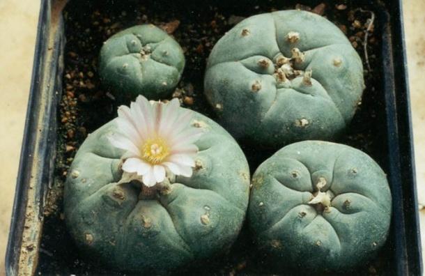 Петербуржцев осудили завыращивание галлюциногенных кактусов