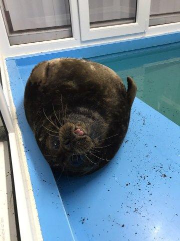 Тюлень Крошик, Фонд друзей балтийской нерпы, спасение тюленей  5