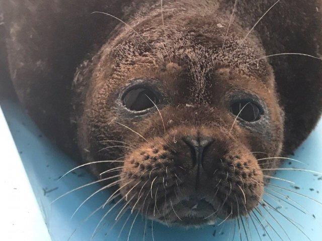 Тюлень Крошик, Фонд друзей балтийской нерпы, спасение тюленей  1