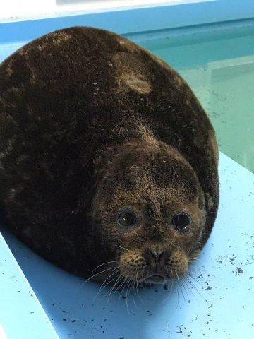 Тюлень Крошик, Фонд друзей балтийской нерпы, спасение тюленей  3