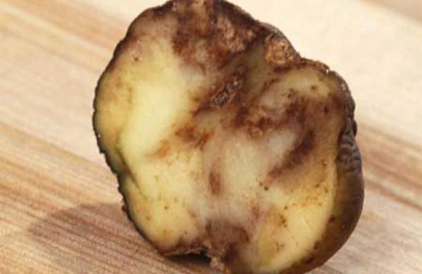 Гнилой картофель изЕгипта непустили вПетербург