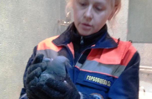 Спасатели вПетербурге спасли жизнь голубю