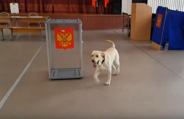 Задень довыборов избирательные участки посетили собаки