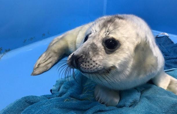 Спасенного наострове Гогланд тюлененка готовят квзрослой жизни