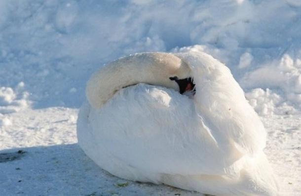 Вмерзшего влед лебедя спасли вЛенобласти