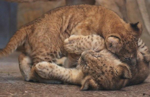 Львятам вЛенинградском зоопарке придумали имена