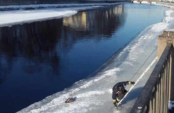 Чайка вмерзла влед вПетербурге