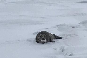 Отрезанную отводы тюлениху спасли вЛенобласти