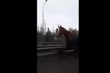 Табун лошадей ловят сотрудники ГИБДД наМурманском шоссе