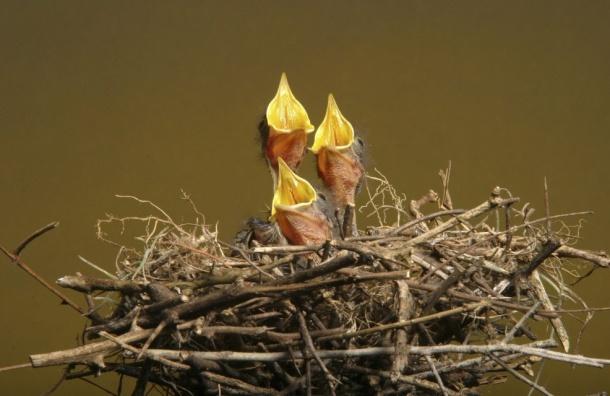 Петербуржцев просят быть внимательнее из-за птичьих гнезд