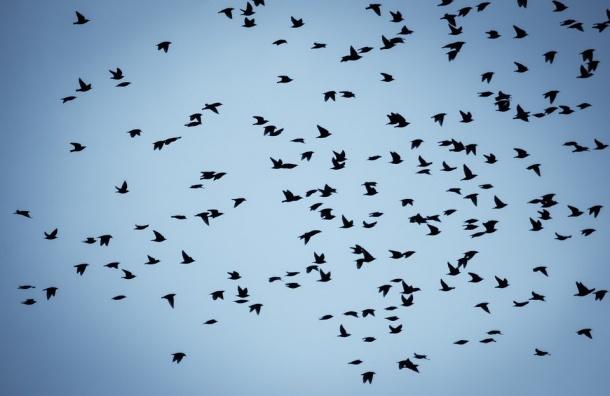 Перелетные птицы возвращаются вПетербург