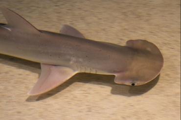 Зоопарк закупает акул искатов