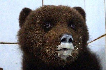 Раненого медвежонка спасли вЛенобласти