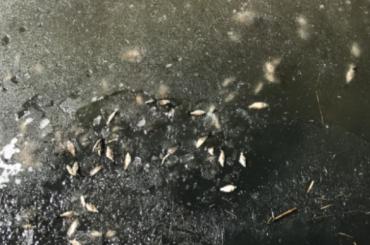 Очевидцы нашли много мертвой рыбы вреке наюге Петербурга