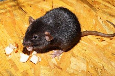 Крысы вспортшколе стали причиной увольнения директора