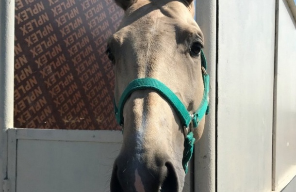 Цирковые лошади изТуркменистана прошли проверку вПулкове
