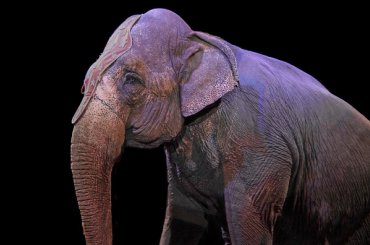Петербургские слоны получили спецприз циркового фестиваля