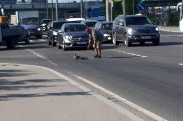 Петербуржец перевел утку сутятами через оживленную трассу