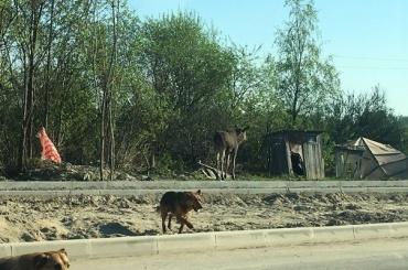 Лось идве собаки гуляли наМуринской дороге
