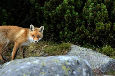 Шкуры датских лисиц непустили вПетербург