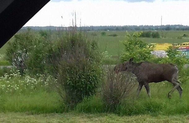 Лоси бегают вдоль дорог Петербурга иЛенобласти